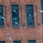 Pigeons Flying over the River - 2/20/13