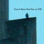 Tiercel on TSB 2/25/13