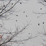 Crows flying past BS on south side 2/28/13