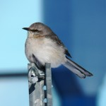 Northern Mockingbird at KP 2/10/13