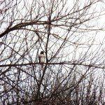 Red-tailed Hawk at KP 2/23/13