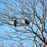 Red-tails in Love? 2/10/13