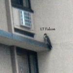 6-lt-falcon