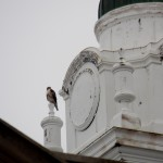 Red-tailed Hawk at John Marshall High School - 2/23/13
