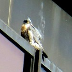 img_9032-gotta-feather-in-my-cap
