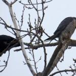 img_9568-pigott-and-crow