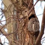 screech-owl_7398a