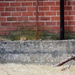 Chipmunk at BS on north side of building. - 3/16/13