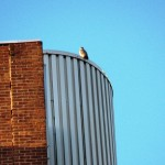 Peregrine at BS - 3/17/13