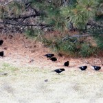 Red Winged Blackbirds - 3/16/13