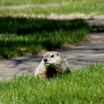 Groundhog at BS 4/27/13