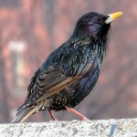 img_6444-starling-was-talking-to-me-on-the-bsb