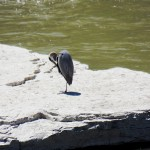 Great Blue Heron on River Rock 5/26/13