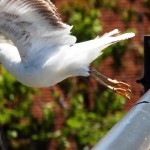 Buddy the Gull Visited with me for awhile and then took off to join his friends! 5/26/13