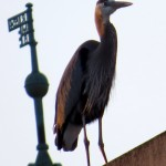 img_0022-great-blue-heron
