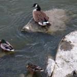 Duck! Duck! Goose!