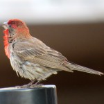 img_0046-happy-housefinch