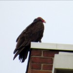 img_0049-turkey-vulture