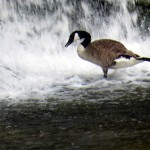 img_0079-canadian-goose