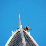 1-baron-on-top-of-rochester-city-hall-in-hunt-mode-7-26-13