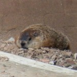 3-pigotts-sleepy-friend-the-groundhog-aka-swear-word-7-28-13