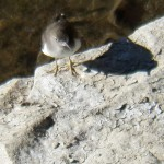 Mystery Shore Bird on Genesee River 7-25-13