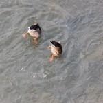Synchronized Duck Swim Team - Bottoms Up! 8-22-13
