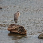 Great Blue Heron on Genesee River Near BSB 8-27-13