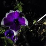 Night Flowers aka Petunias 8-21-13