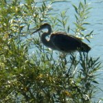 Great Blue Heron in Tree in Gorge 8-23-13