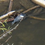 Kingfisher Fishing on the Genesee River 8-25-13