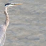 Great Blue Heron Near High Falls 8-22-13