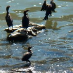A Cormorant Gathering 8-25-13