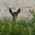 Peek-a-Boo Deer on the High Falls Island 8-22-13