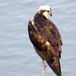 img_0008-osprey