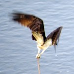 img_0009-take-off-to-catch-a-fish