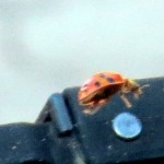 img_0027-ladybug-on-my-windshield