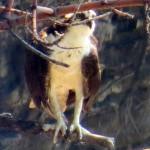 img_0092-osprey