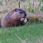 Apple Eating Groundhog 9-21-13