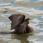 Cormorant on the River 9-22-13