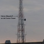 Falcon on Jail Communication Tower 9-9-13