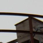 Hawkeye Juvie on Nest Box Structure 9-13-13