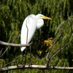Great Egret in Small Pond 9-14-13