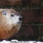 Pigott's Friend the Groundhog 9-22-13