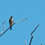 9-merlin-on-east-side-of-river-9-29-13