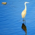 img_0002-great-blue-heron