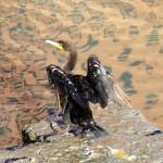 img_0008-cormorant