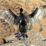 img_0009-cormorant