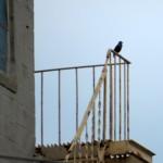 img_0021-starling