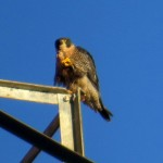 img_0051-falcon-power